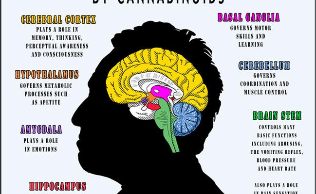 Infographic: Areas of Brain Affected by Cannabinoids